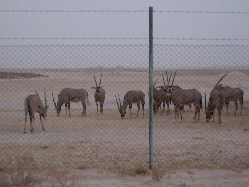 Oryx, taken near Ghantoot.