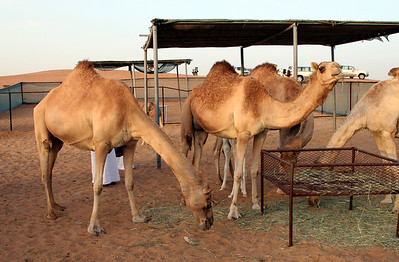 Camels, Bedouin camp, inland UAE (following 4WD desert safari).
