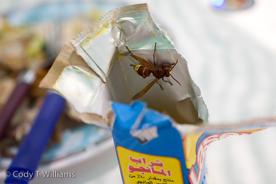 A wasp is allured to the sweet smell of a juice box left on a boat away from the shores of Oman, May 26, 2009. /© Cody Williams.