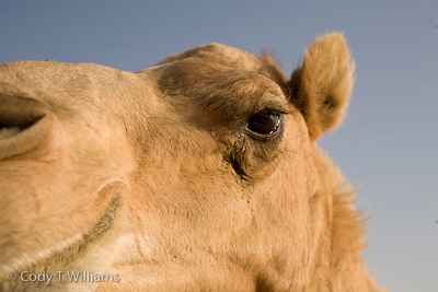 Camels wander the sand dunes in a desert region of Dubai, United Arab Emirates (UAE), May 25, 2009. /© Cody Williams.