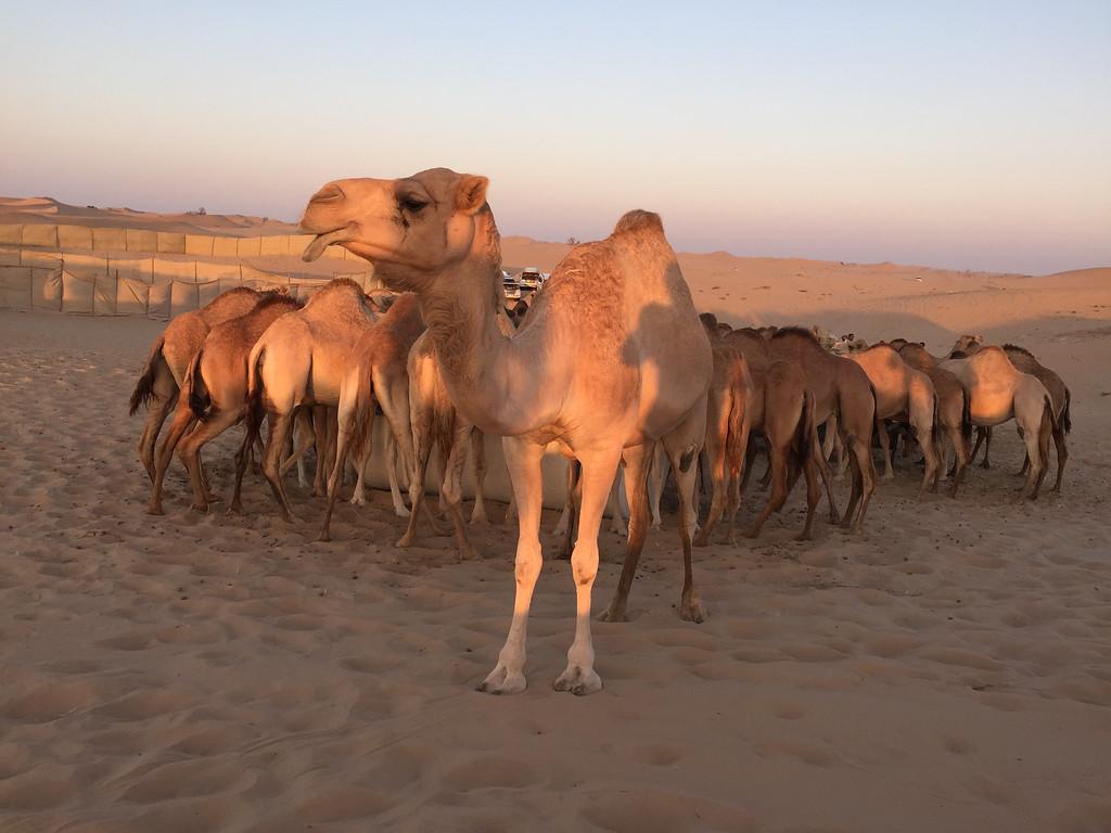 Camels at Dusk