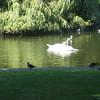 Swans feeding.