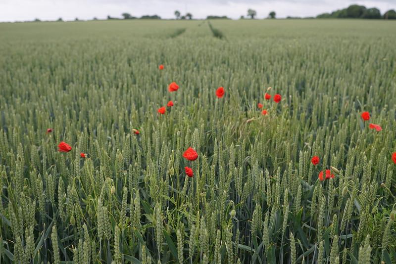 Poppy's in wheat
