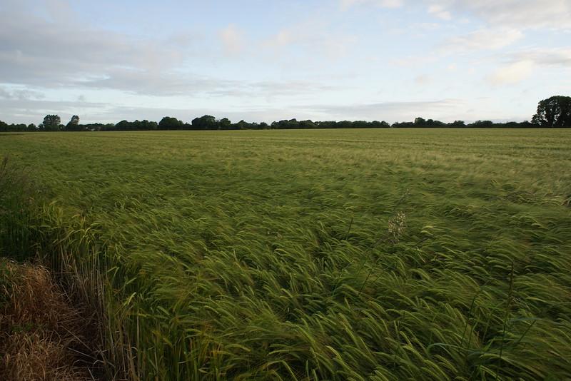 Good looking winter barley crop.