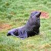 Sea lion in Dunedin, New Zealand.