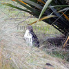Yellow eyed penguin in Dunedin, New Zealand.
