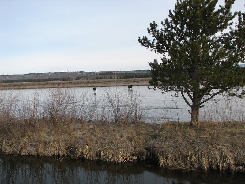 Moose near Island Park