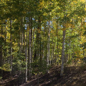 Design: parallel lines (vertical or horizontal) are static. Aspens near Durango Mountain Resort