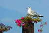SEAGULL LOVES FLOWERS