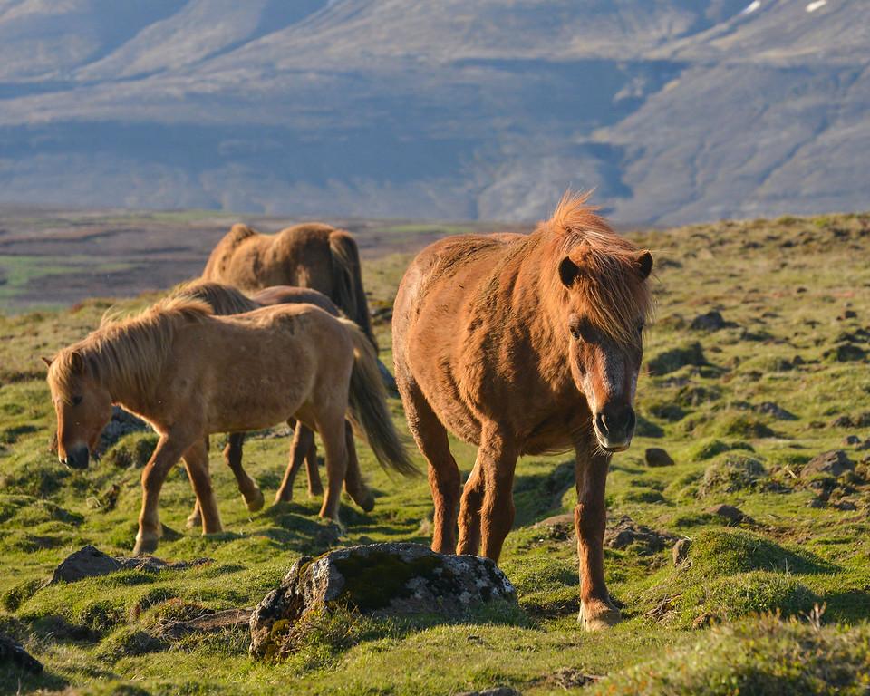 Icelandic Horse s