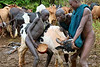 The Surma raise large herds of cattle.  The cows are milked, and often blood from cattle is mixed with milk for drinking, or drunk by itself.  Here is the start of blood letting where a cow is selected and held.  A cow can provide blood about once a month.  The arrow at the upper left is shot into the jugular vein of the cow making a small hole.  The blood spurts out to be drunk directly or gathered in a gourd container.  Eventually the hole in the jugular is pinched together and clotting takes place quickly to halt the flow of blood.