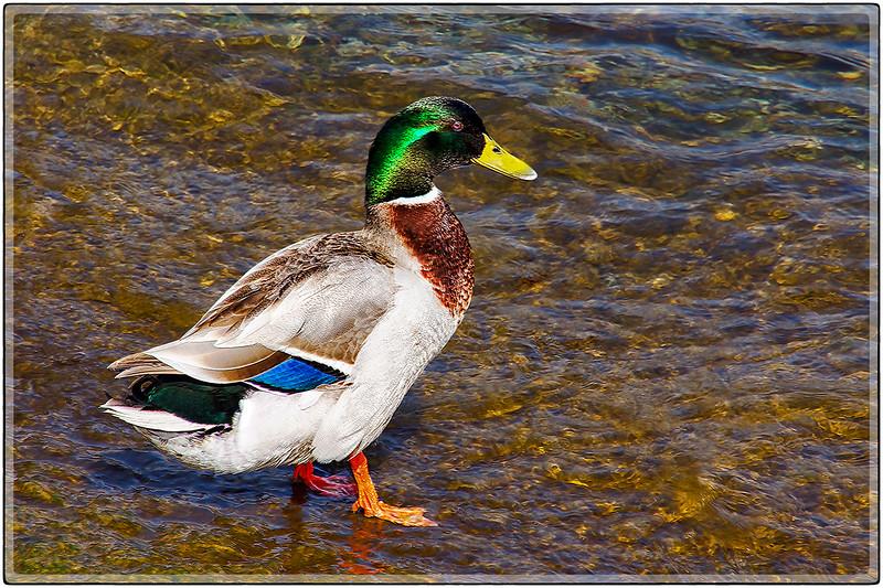 Mallard Duck Profile, Lugano, Switzerland