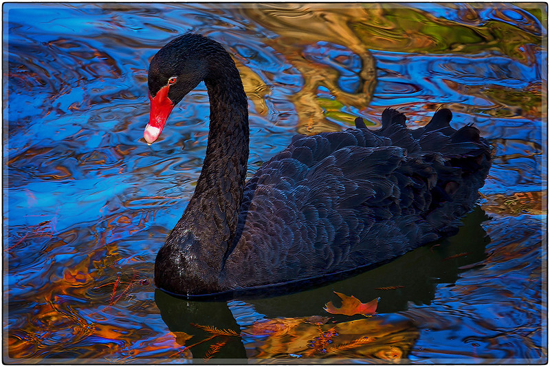 Black Swan, Madrid, Spain