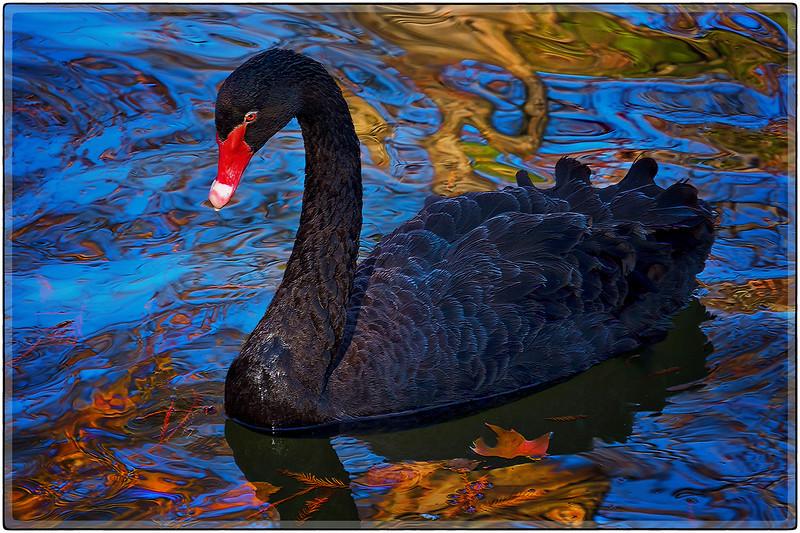 Black Swan, Madrid, Spain