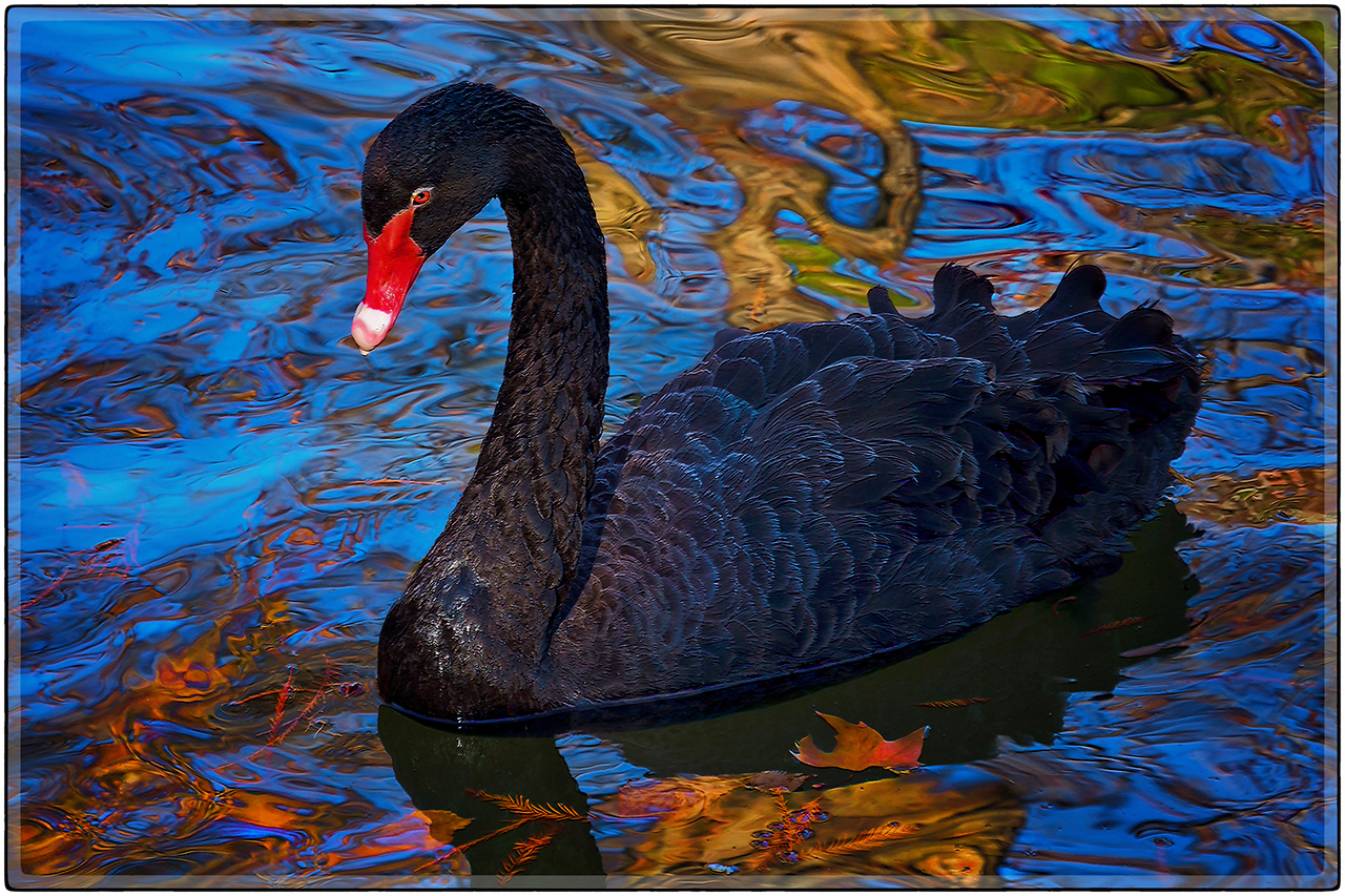 Black Swan in Autumn Reflections, Madrid, Spain