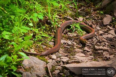 Oregon Garter Snake on Eagle Creek Trail