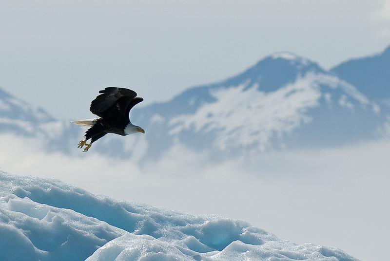 Eagle on iceberg Tracy Arm Glacier-106
