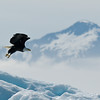 Eagle on iceberg Tracy Arm Glacier-106