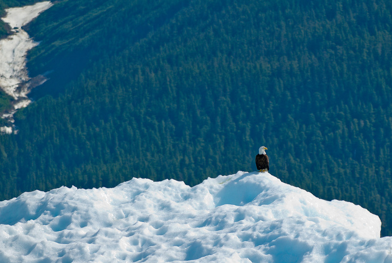 Eagle on iceberg Tracy Arm Glacier-101