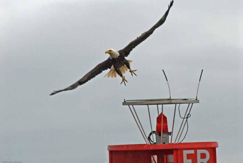 Eagle on bouy near Juneau-105