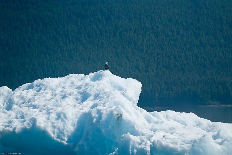 Eagle on iceberg Tracy Arm Glacier-100
