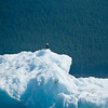 Eagle on iceberg Tracy Arm Glacier-100