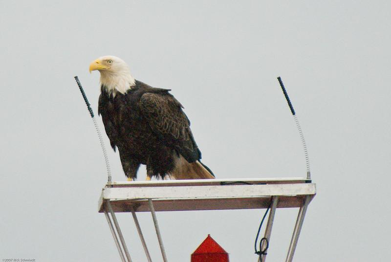 Eagle on bouy near Juneau-103