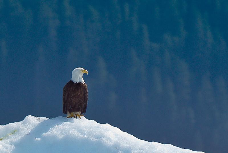 Eagle on iceberg Tracy Arm Glacier-102