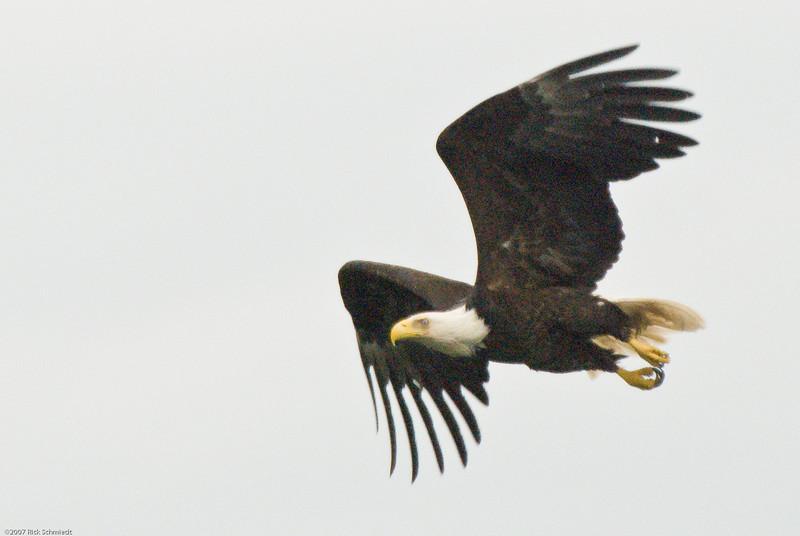 Eagle on bouy near Juneau-107