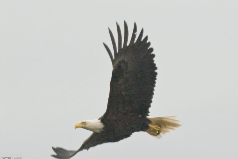 Eagle on bouy near Juneau-108