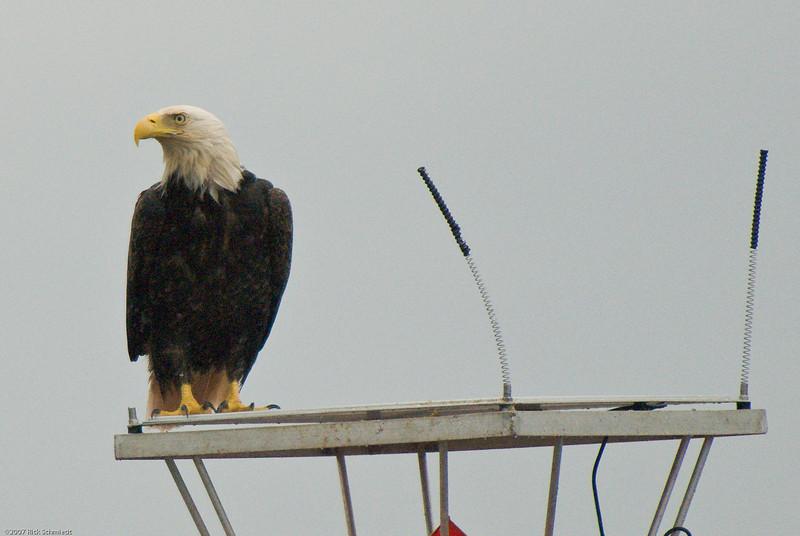 Eagle on bouy near Juneau-104