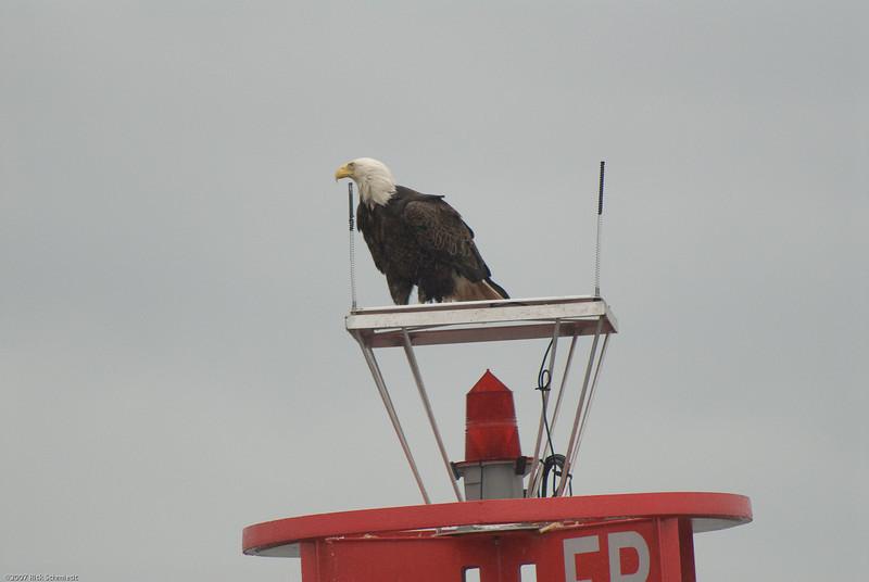Eagle on bouy near Juneau-102