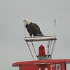 Eagle on bouy near Juneau-102