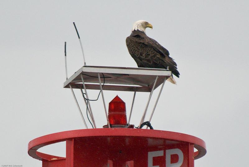 Eagle on bouy near Juneau-101
