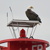Eagle on bouy near Juneau-101