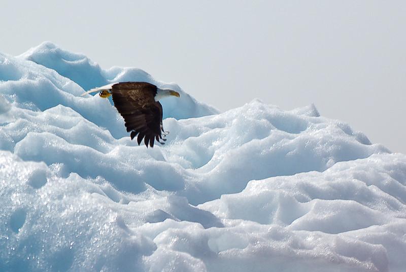 Eagle on iceberg Tracy Arm Glacier-107