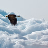 Eagle on iceberg Tracy Arm Glacier-107