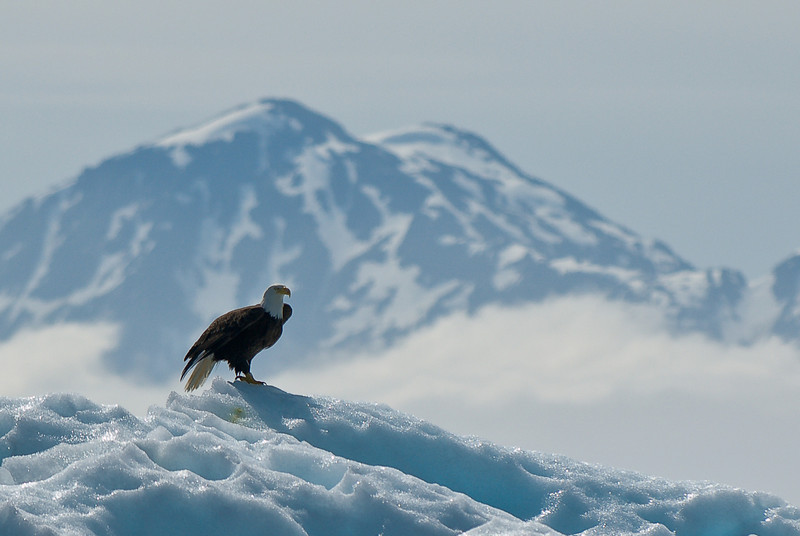 Eagle on iceberg Tracy Arm Glacier-105