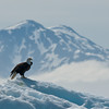 Eagle on iceberg Tracy Arm Glacier-105