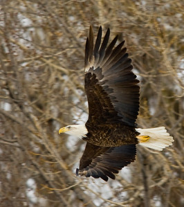 Low resolution version of Bald Eagle in flight.