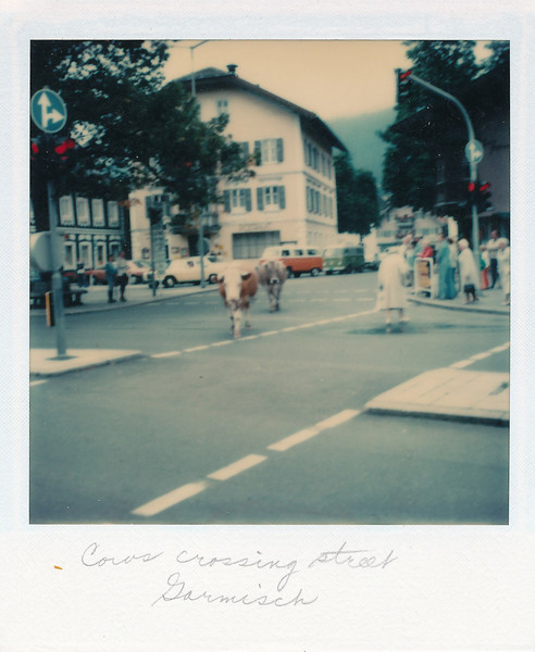 Cows crossing the street in Garmisch