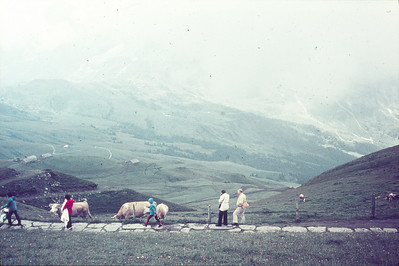 Cows spending the summer in the Alps