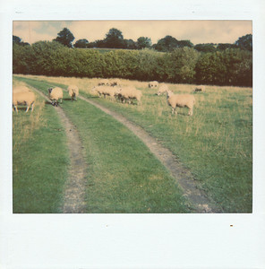 Sheep in our way to the house