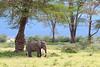 Elephant in Ngorongoro Crater NP