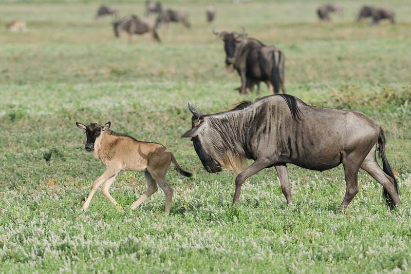 Wildebeest mom urging calf forward
