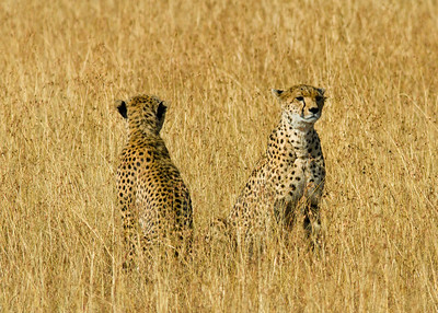 After the hunt...the cheetah on the left had an puncture wound to its front shoulder