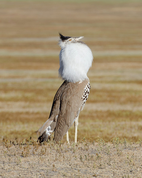 Kori Bustard trying to impress the ladies, Ngorongoro Crater.  The bird has a deep mating call that sounds like someone striking a big drum.