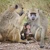 Baboons, Amboseli NP, Kenya
