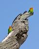 Lovebirds, Serengeti