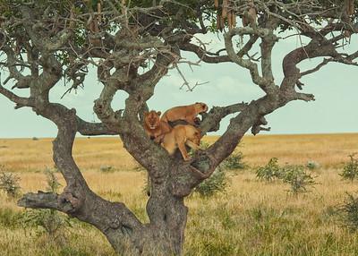 Tree climbing lions in Ndutu region.